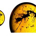 สงครามมด : ฟอสซิลเปิดเผยให้เห็นการต่อสู้กันอย่างดุเดือดของแมลง