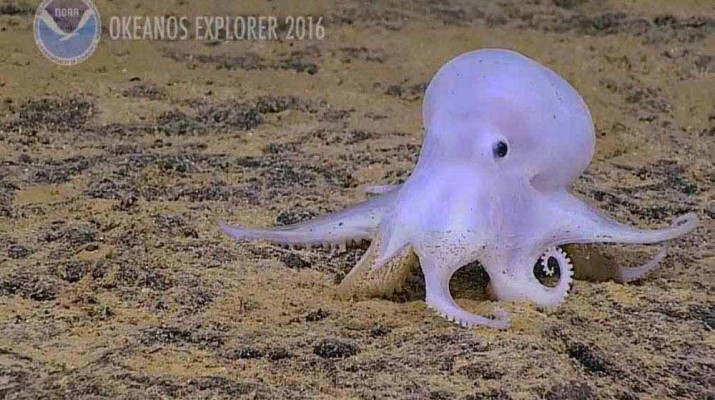 ghost-octopus
