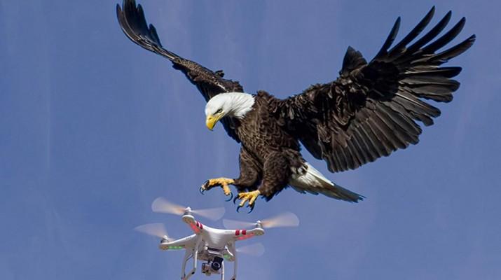 eagle-vs-drone