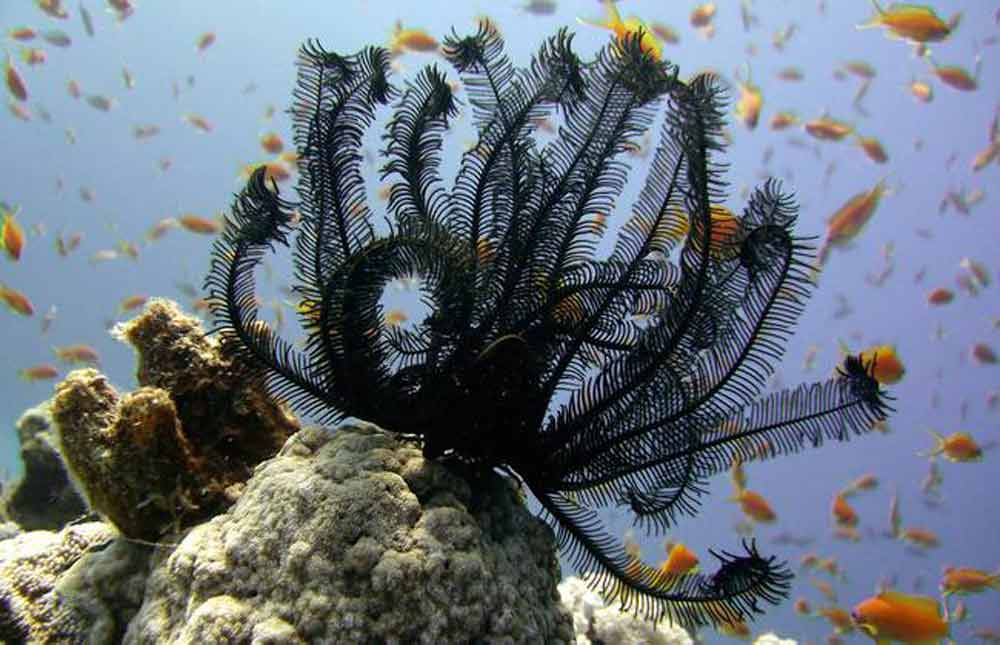 incredibel-black-feather-star.jpg