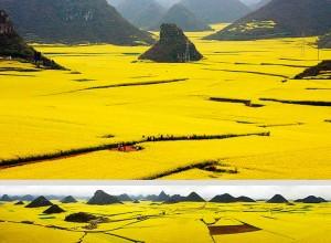 canola-flower-fields-chaina