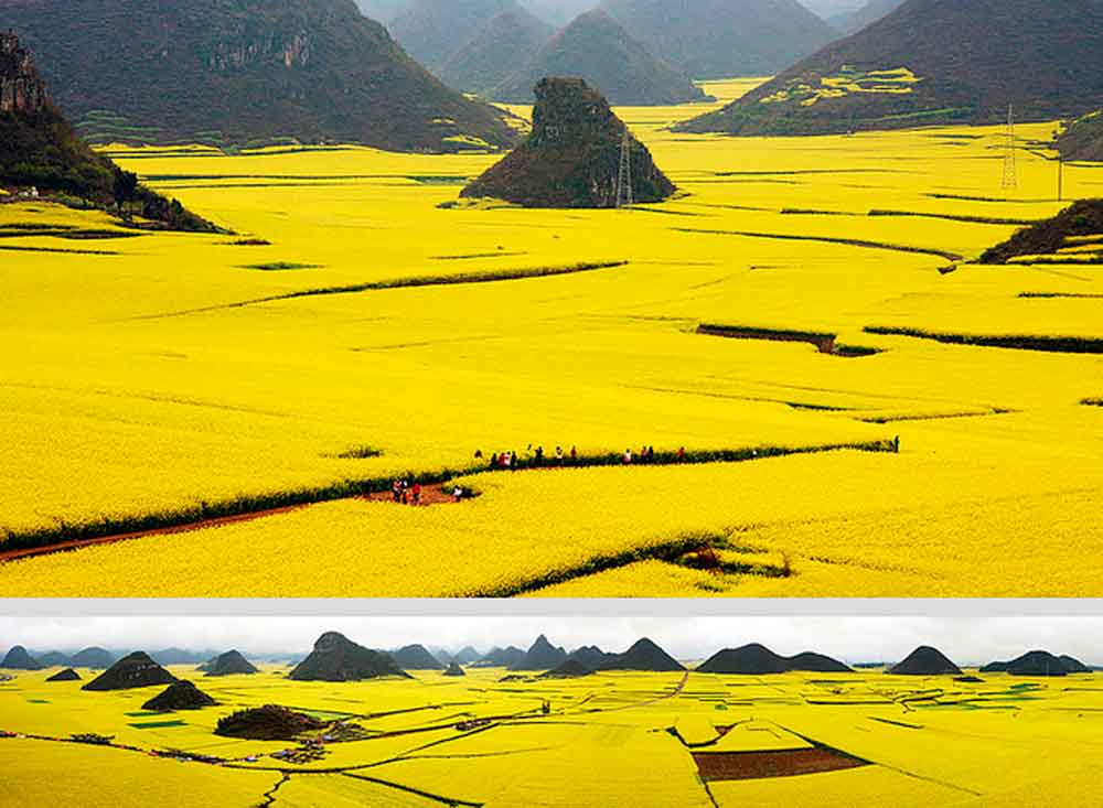 canola-flower-fields-chaina