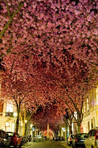 cherry-blossom-street-germany