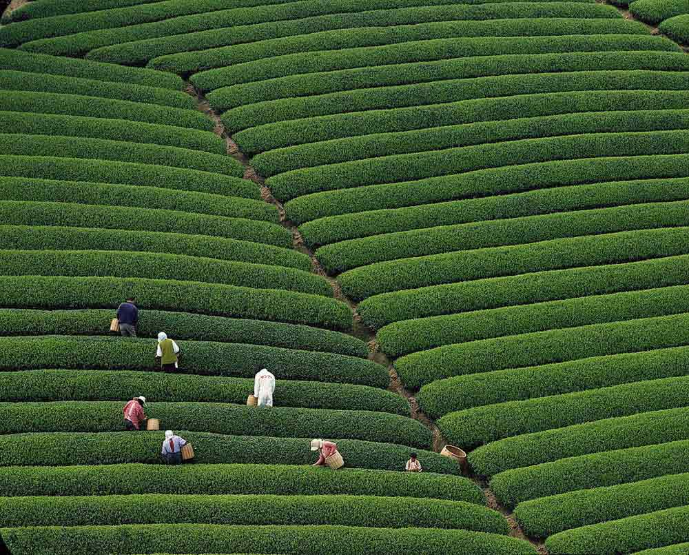 fields-of-tea-chaina-2