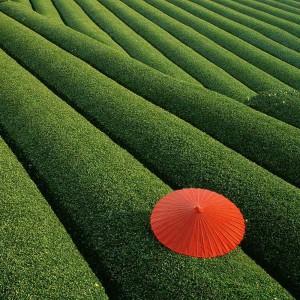 fields-of-tea-chaina
