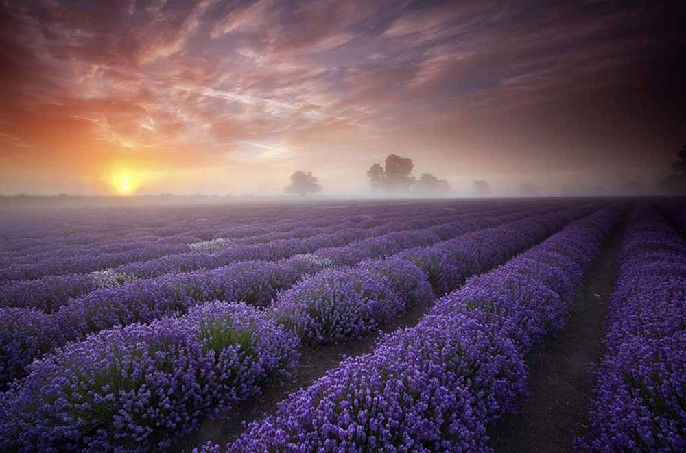 lavender-fields-uk-france-1