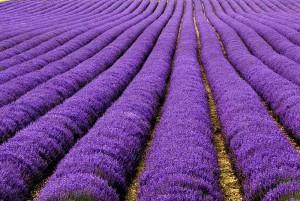 lavender-fields-uk-france-2