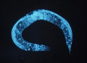 round-worm