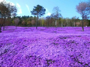 shibazakura-flowers-takinoue-park-japan