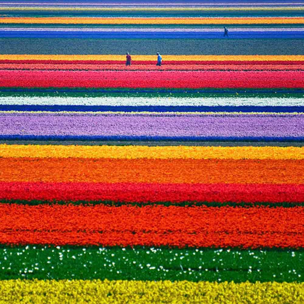 tulip-field-netherland