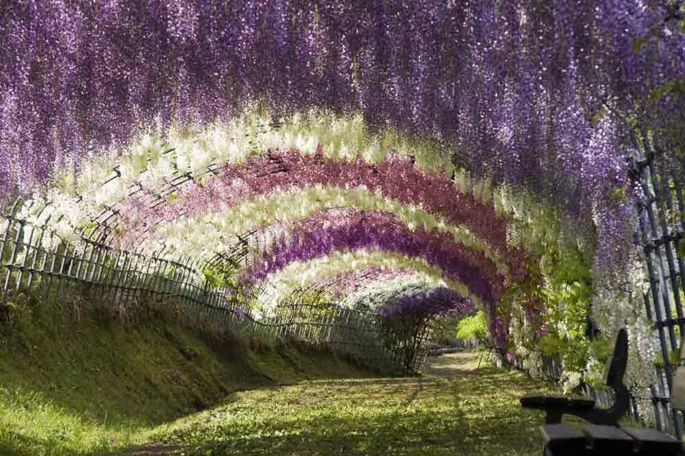 wisteria-flower-tunnel-japan-1