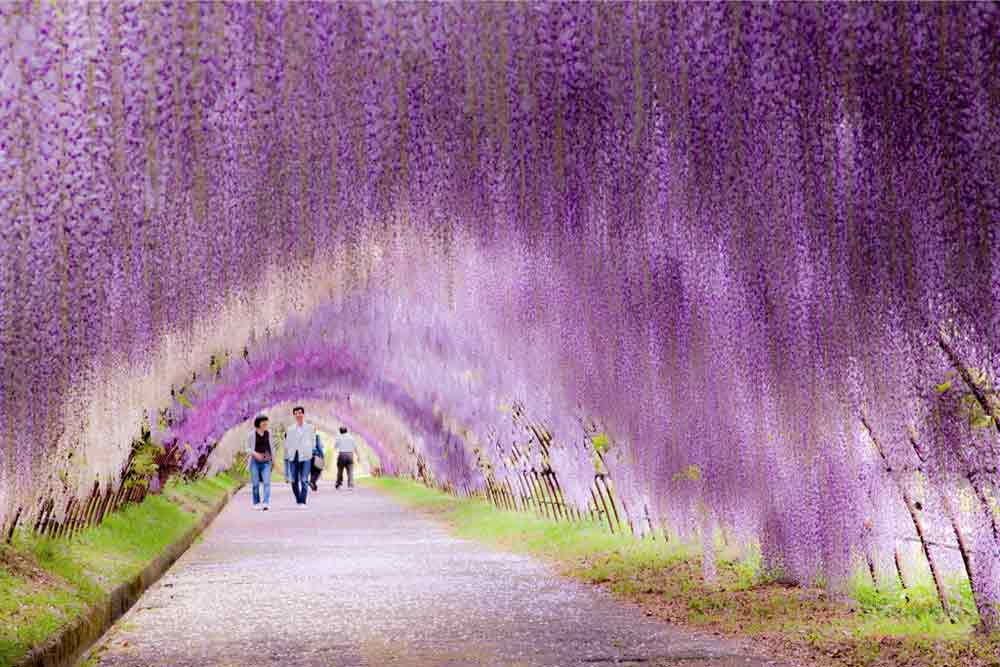 wisteria-flower-tunnel-japan-2