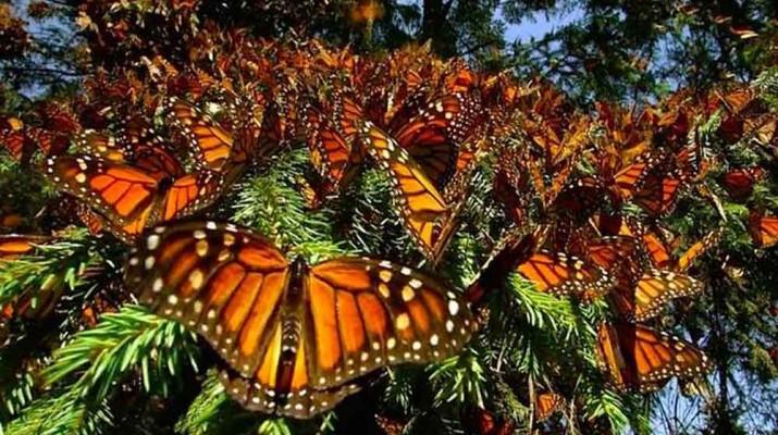 monarchs-butterfly
