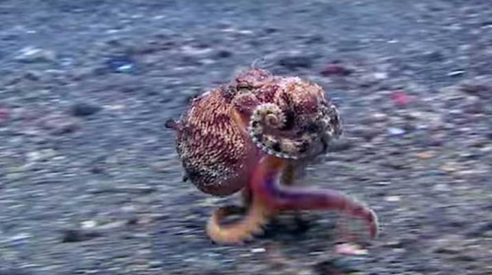 octopus-running