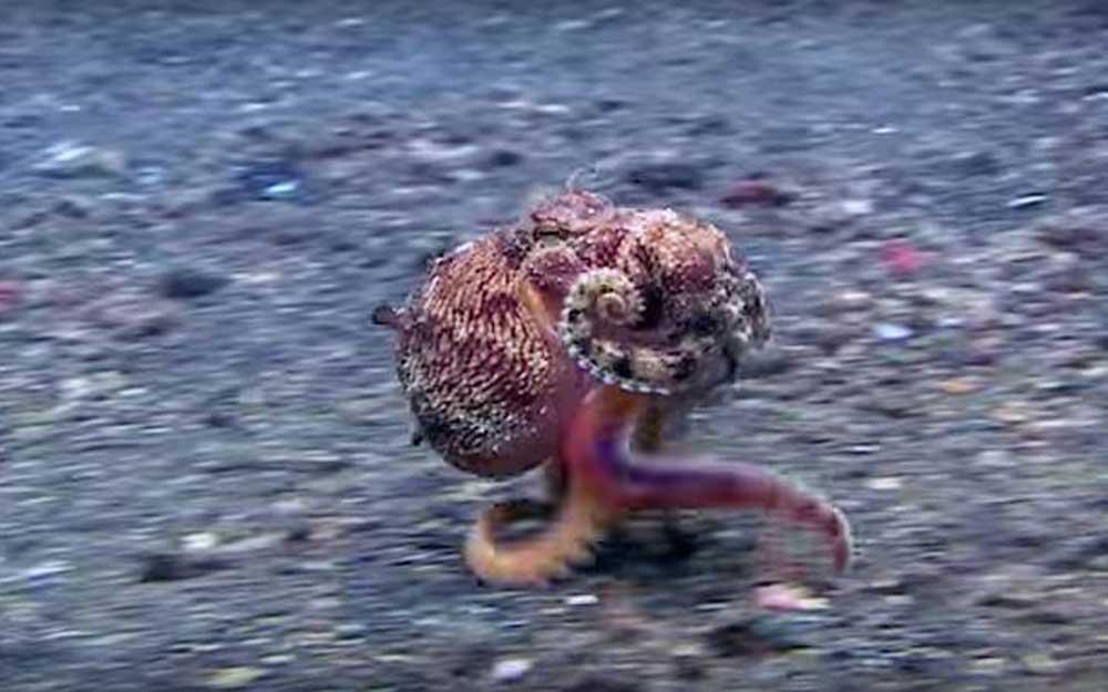 """ดูเจ้าปลาหมึกยักษ์ยืนบนเท้าสองข้างแล้ว """"วิ่ง"""" อย่างรวดเร็ว (วิดีโอ)"""