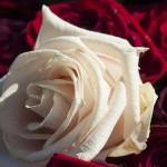พลังงานจากดอกไม้: ผิวกลีบดอกกุหลาบทำให้โซลาร์เซลล์ดีกว่าเดิม