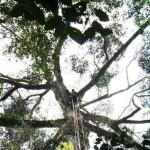 ค้นพบต้นไม้ที่สูงที่สุดในเขตร้อนที่ประเทศมาเลเซีย
