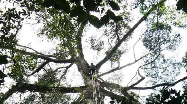 tallest-tree-1