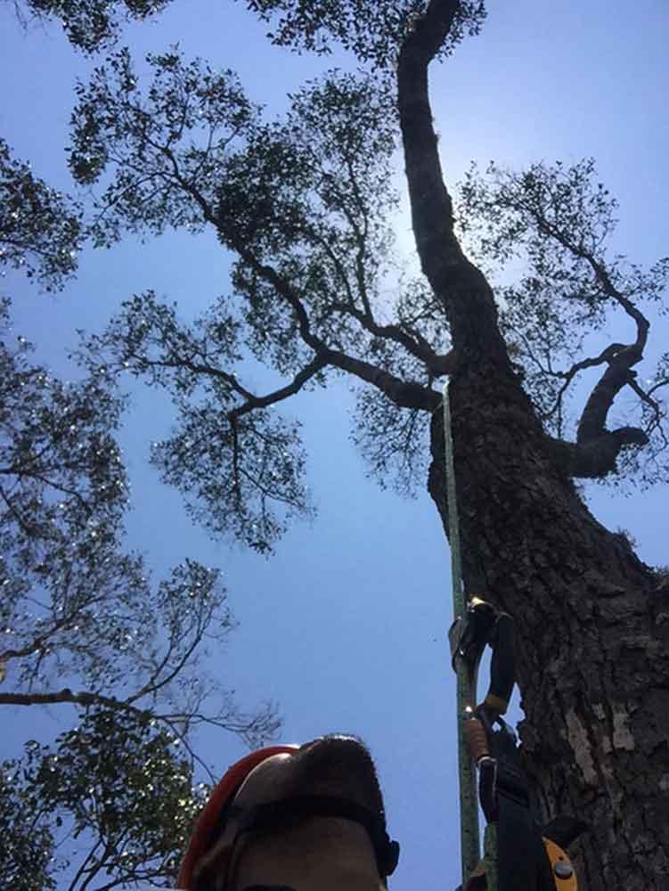 tallest-tree-3