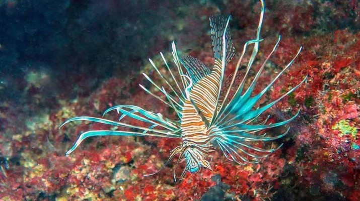 lionfish-1