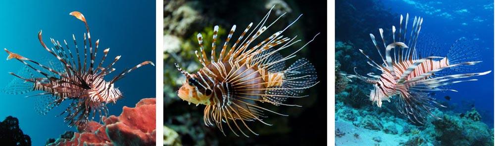 lionfish-2