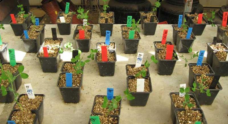 pea-plant-2