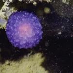 ค้นพบลูกกลมประหลาดสีม่วงที่พื้นมหาสมุทร นักวิทยาศาสตร์ยังไม่รู้ว่าคืออะไร