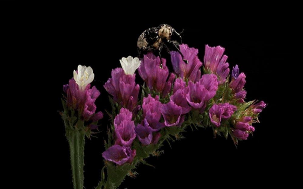 ชมวิดีโอร่นเวลาดอกไม้บานที่มีแมลงไต่ตอมอยู่ด้วย ดูสวยงามน่ารักมาก