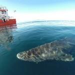 ฉลามกรีนแลนด์ สัตว์มีกระดูกสันหลังที่อายุมากที่สุดในโลก เกือบ 400 ปี!