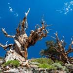 ต้นไม้ที่มีอายุมากที่สุดในโลกอยู่ที่ไหน? อายุเป็นหมื่นปีจริงหรือเปล่า?