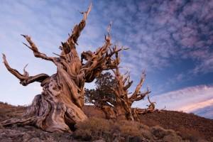 oldest-tree-3