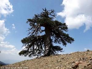 oldest-tree-4