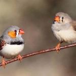 นกซีบร้าฟินช์ร้องเพลงบอกลูกน้อยให้ปรับตัวสู้อากาศร้อนตั้งแต่ก่อนฟักออกจากไข่