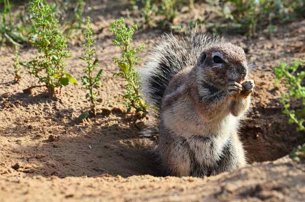 cape-ground-squirrel-2