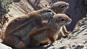 cape-ground-squirrel-3
