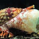 พิษของหอยเต้าปูนอาจนำมาใช้ในการผลิตอินซูลินชนิดออกฤทธิ์เร็วมากได้