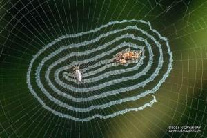 mirror-spiders-8