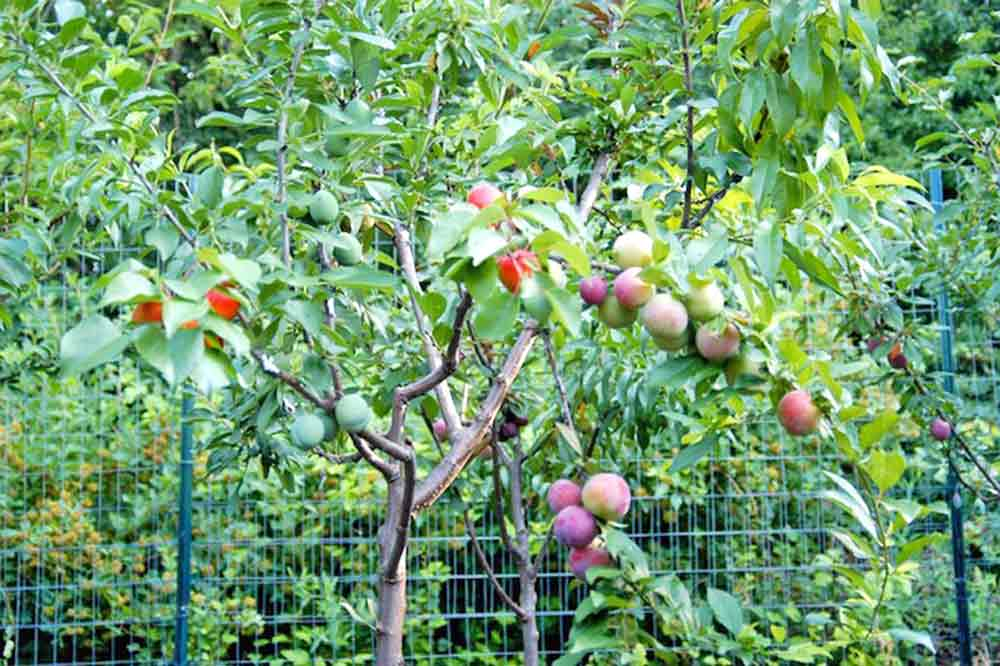 tree-of-40-fruit-2