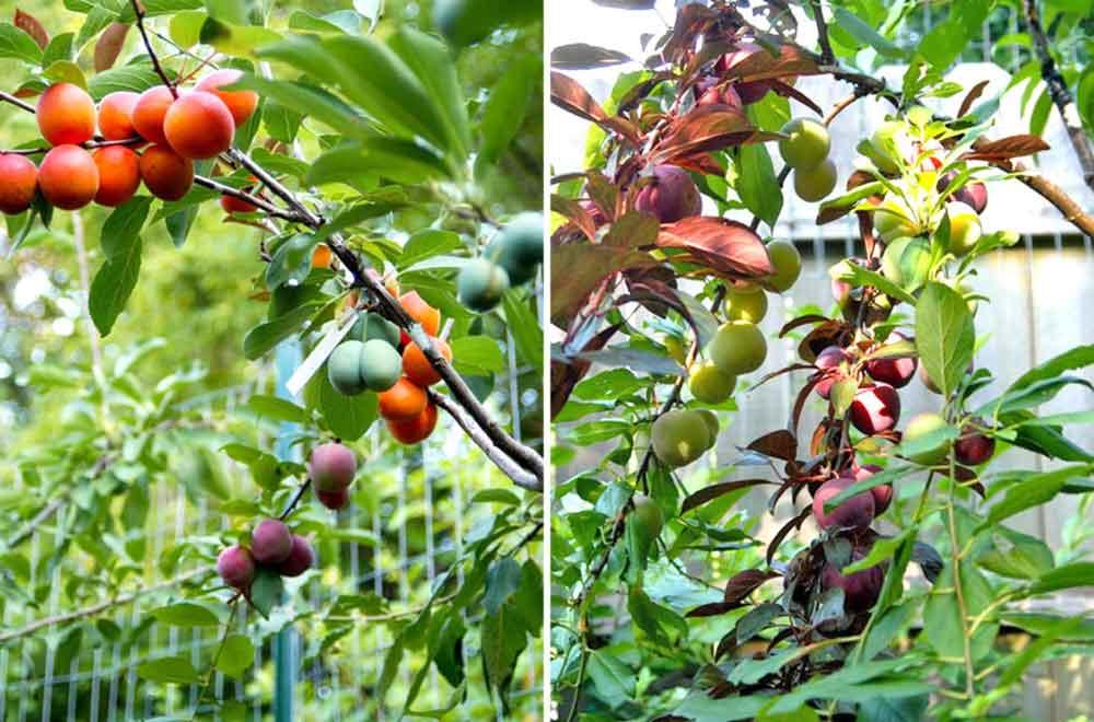 tree-of-40-fruit-3