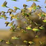 นกก็มีกฎจราจรของนกที่ทำให้มันไม่บินชนกันกลางอากาศ