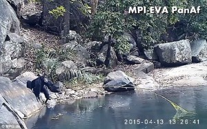 chimps-fishing-algae-1