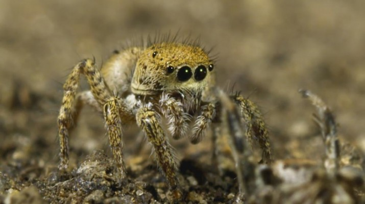 jumping-spider-dance-1
