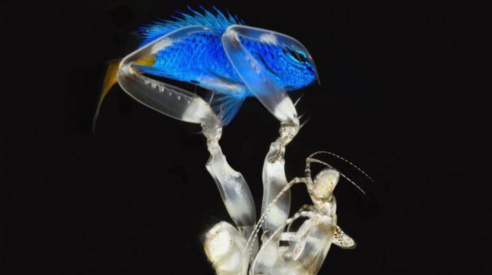 mantis-shrimp-1