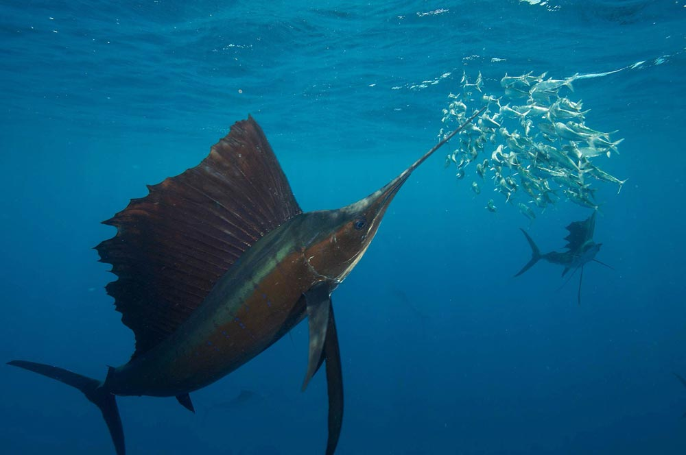 sailfish-group-hunt-2