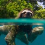 มาดูสลอธจอมขี้เกียจว่ายน้ำข้ามแม่น้ำอย่างเร็วเพื่อไปหาคู่รักของมัน