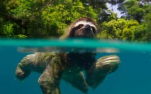 sloth-swim-across-river