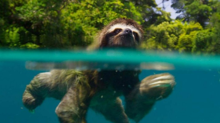 sloth-swim-across-river