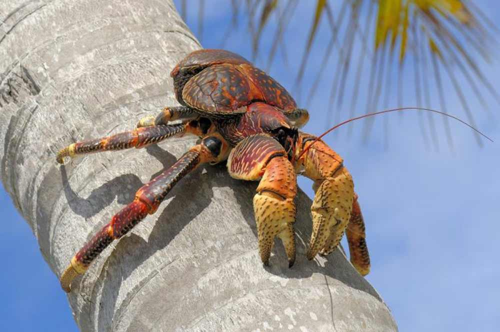 coconut-crab-strongest-pinch-2