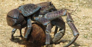 coconut-crab-strongest-pinch-3