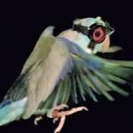 นกน้อยสวมแว่นตากันเลเซอร์ช่วยนักวิจัยค้นหาความลึกลับของการบิน
